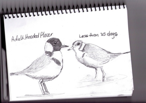 Adult and chick <35 days