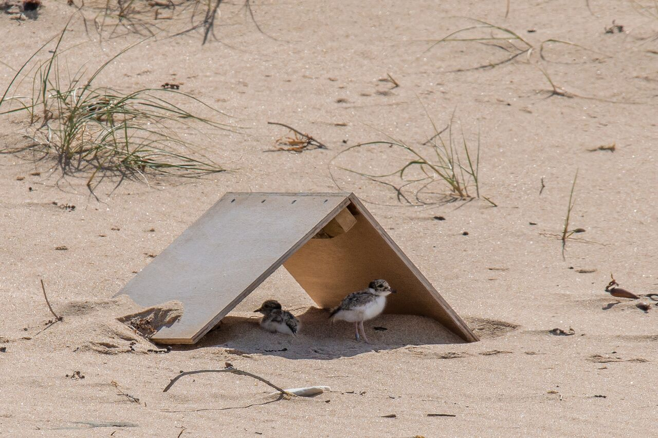 LS,Hooded Plover,Gunnamatta,230117,-34 (19)_preview.jpeg